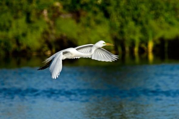 Great-Egret-Ardea-alba-The-Rookery-Venice-13-010789.vv