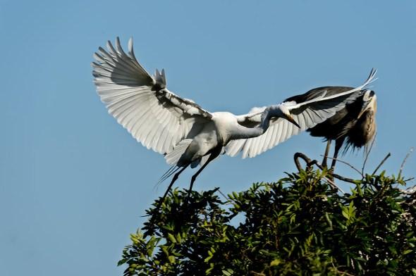 Great-Egret-Ardea-alba-The-Rookery-Venice-13-010794.vv
