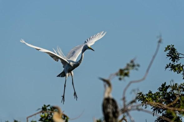 Great-Egret-Ardea-alba-The-Rookery-Venice-13-010807.vv