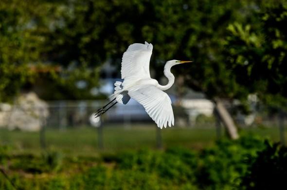Great-Egret-Ardea-alba-The-Rookery-Venice-13-010834.vv