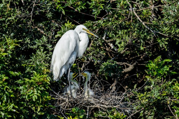 Great-Egret-Ardea-alba-with-chicks-The-Rookery-Venice-13-010296.vv