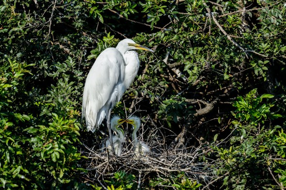 Great-Egret-Ardea-alba-with-chicks-The-Rookery-Venice-13-010300.vv