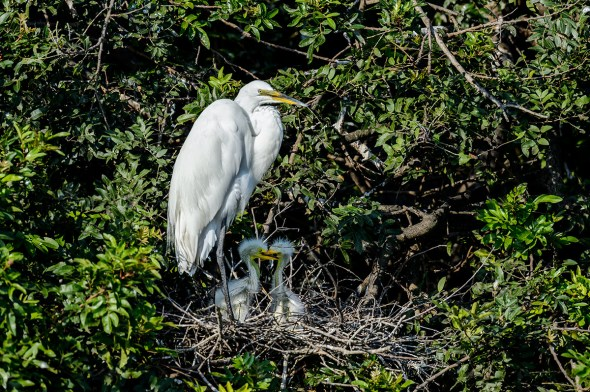 Great-Egret-Ardea-alba-with-chicks-The-Rookery-Venice-13-010303.vv
