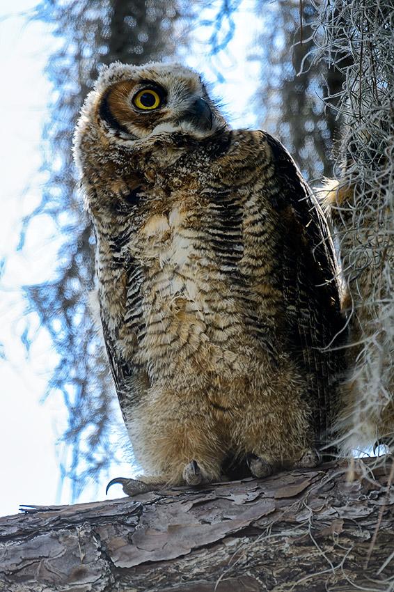 Great-Horned-Owl-Bubo-virginianus-Honeymoon-Island-13-009773.01
