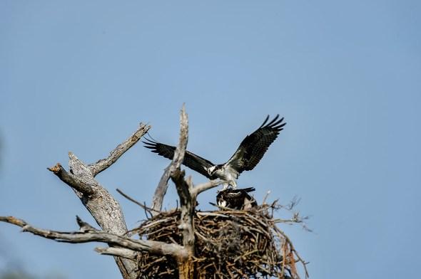 Osprey-Pandion-haliaetus-raptor-Honeymoon-Island-13-009661.01