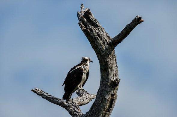 Osprey-Pandion-haliaetus-raptor-Honeymoon-Island-13-009695.01