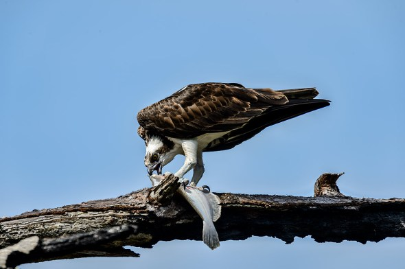 Osprey-Pandion-haliaetus-raptor-Honeymoon-Island-13-009709.01