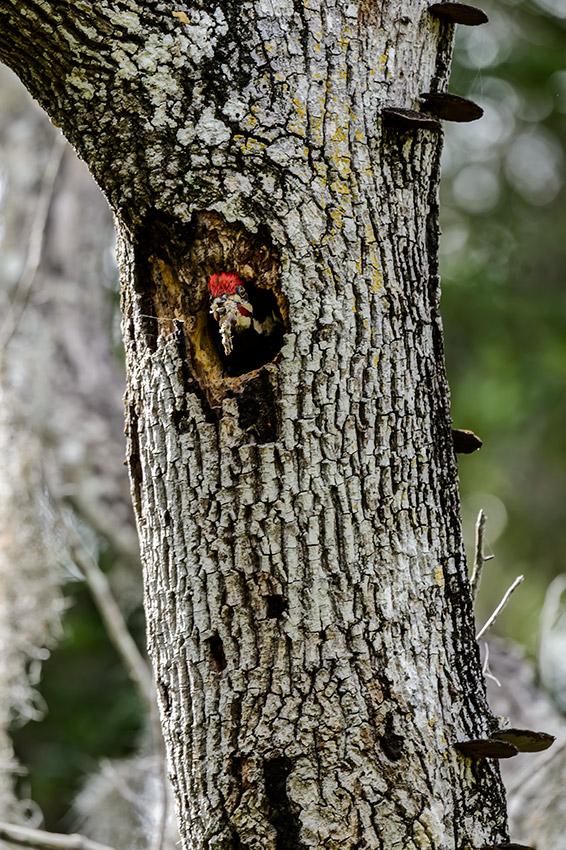 Pileated-Woodpecker-nest-Dryocopus-pileatus-13-011074.vv