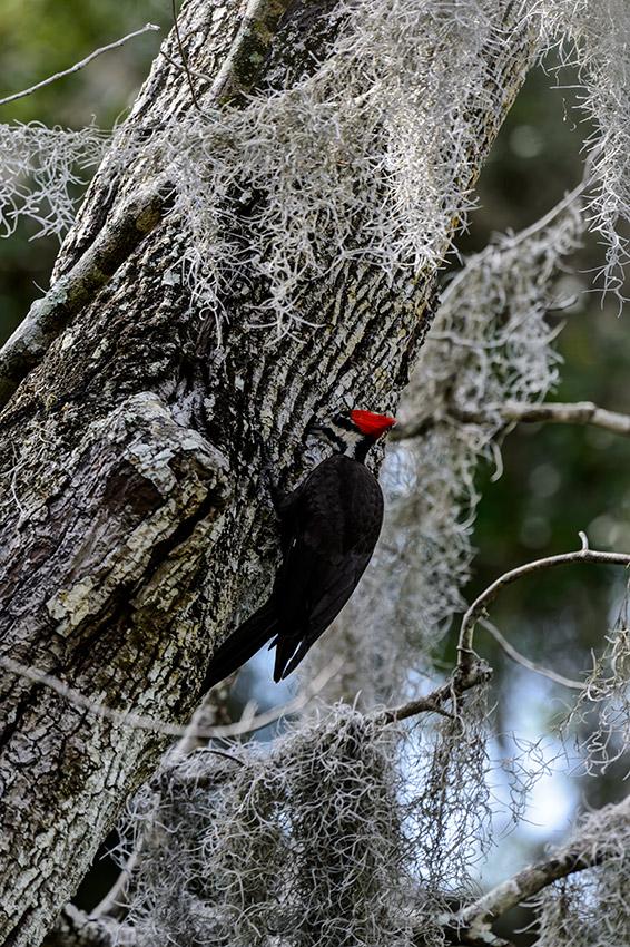 Pileated-Woodpecker-nest-Dryocopus-pileatus-13-011088.vv