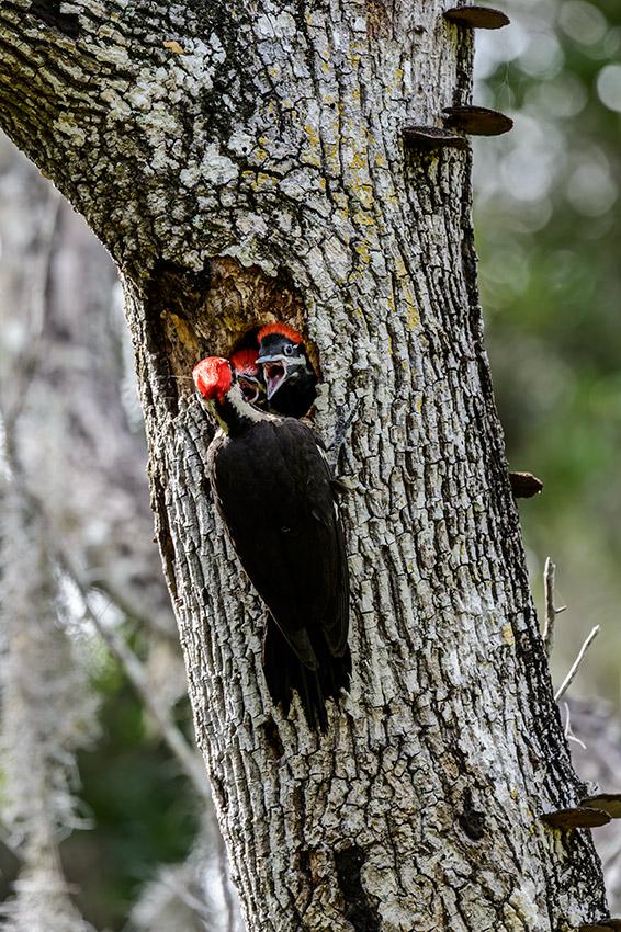 Pileated-Woodpecker-nest-Dryocopus-pileatus-13-011134.vv