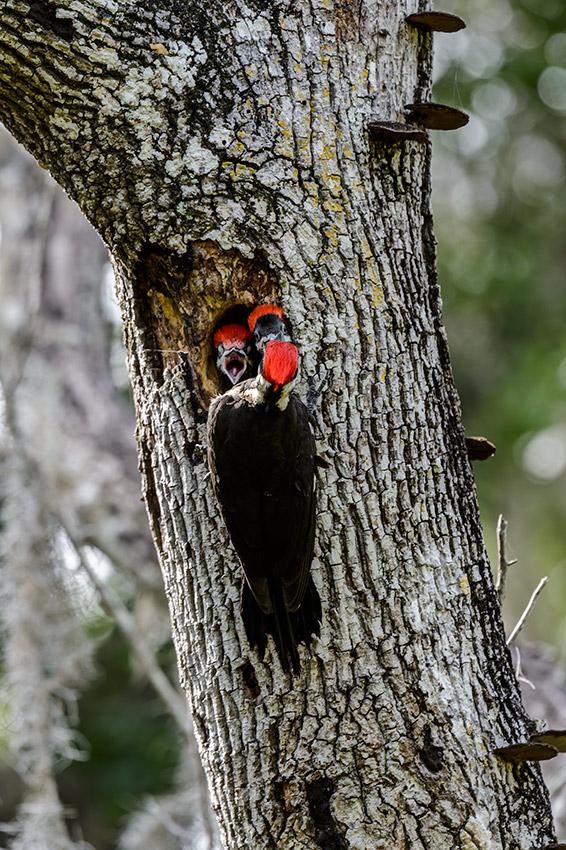 Pileated-Woodpecker-nest-Dryocopus-pileatus-13-011136.vv