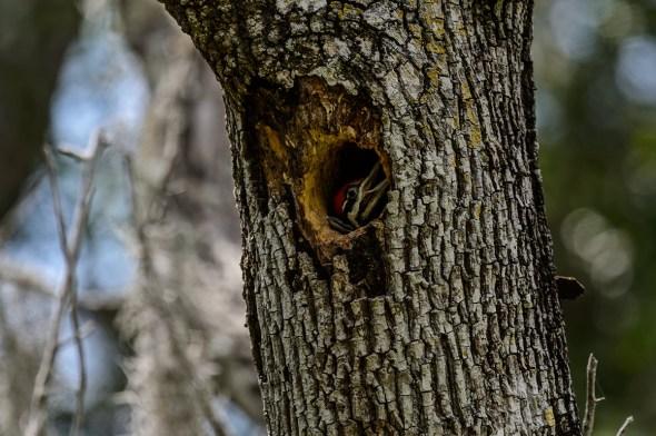 Pileated-Woodpecker-nest-Dryocopus-pileatus-13-011224.vv