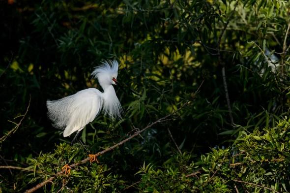 Reddish-Egret-White-Morph-Egretta-rufescene-The-Venice-Rookery-13-010692.vv