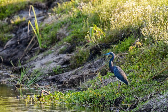 Tricolored-Heron-Egretta-tricolor-The-Rookery-Venice-13-010153.vv