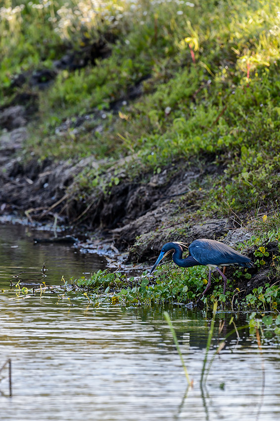 Tricolored-Heron-Egretta-tricolor-The-Rookery-Venice-13-010166.vv