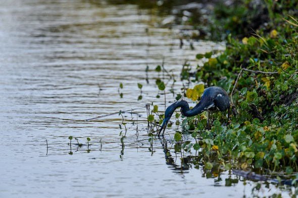 Tricolored-Heron-Egretta-tricolor-The-Rookery-Venice-13-010207.vv
