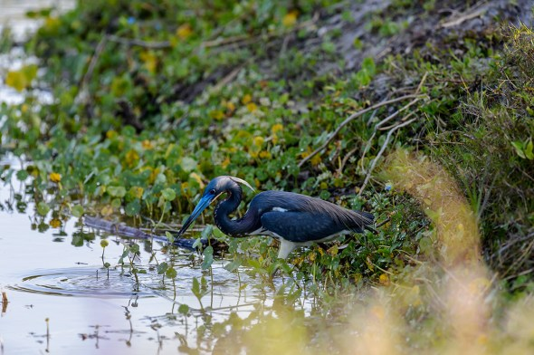 Tricolored-Heron-Egretta-tricolor-The-Rookery-Venice-13-010212.vv