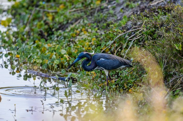 Tricolored-Heron-Egretta-tricolor-The-Rookery-Venice-13-010213.vv