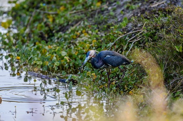 Tricolored-Heron-Egretta-tricolor-The-Rookery-Venice-13-010218.vv