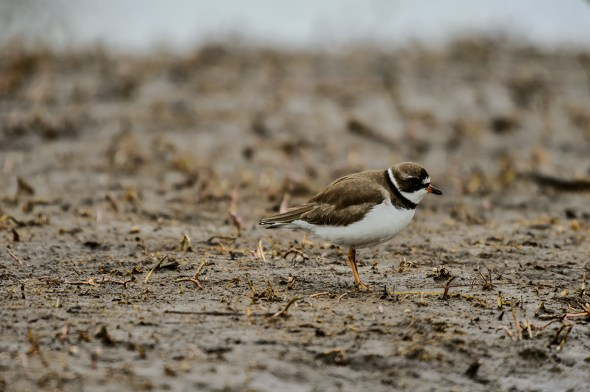 Semipalmated-Plover_0128961