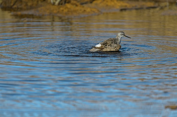 Greater-Yellowlegs-Tringa-melanoleuca-Churchill-13-020228.vv