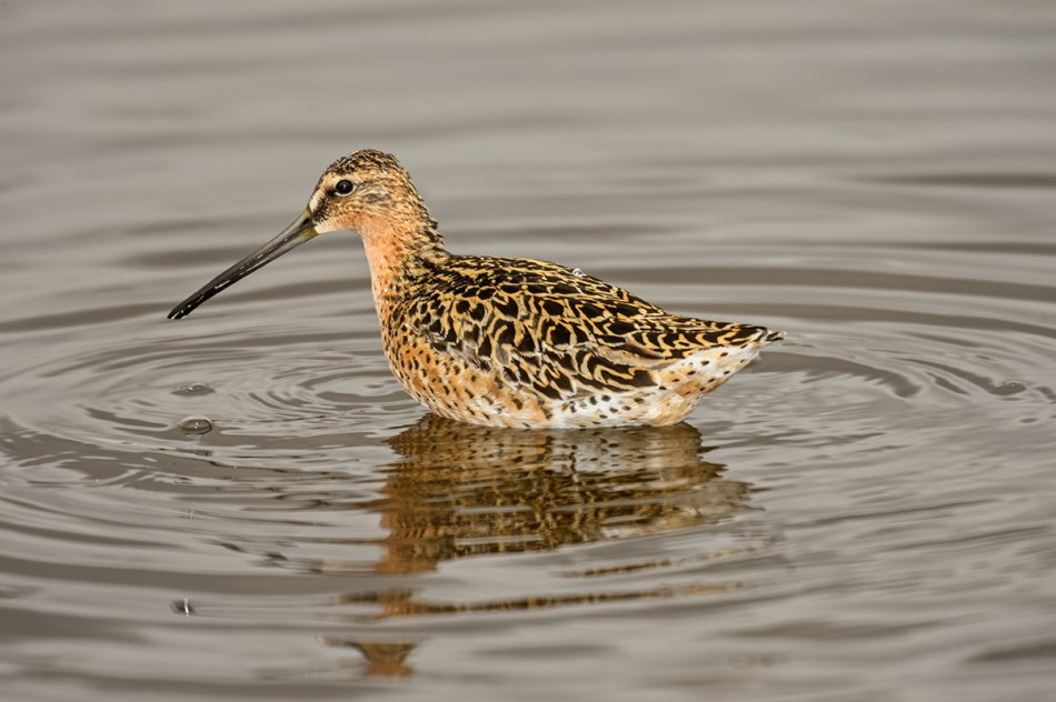 Short-billed-Dowitcher-Limnodromus-griseus-Churchill-13-017819.vv