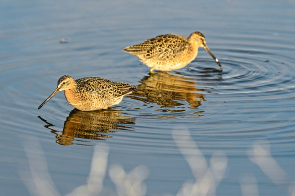Short-billed-Dowitcher-Limnodromus-griseus-Churchill-13-019264.vv