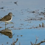 The Solitary Sandpiper