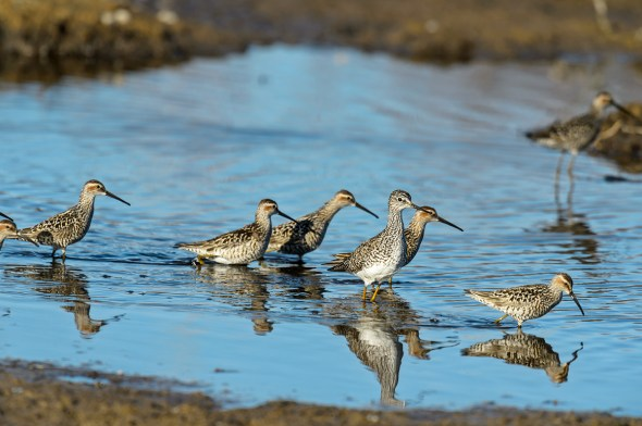 Greater-Yellowlegs-Tringa-melanoleuca-Churchill-13-020335.vv