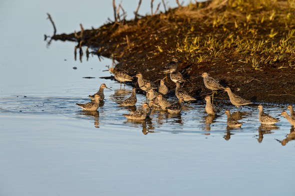 Stilt-Sandpiper-Calidris-himantopus-Churchill-13-021306.vv