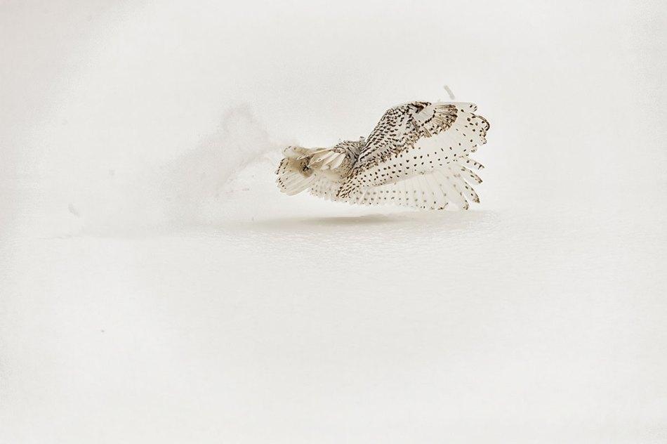 Snowy Owl Bubo scandiacus Richard King 14-001250.vv
