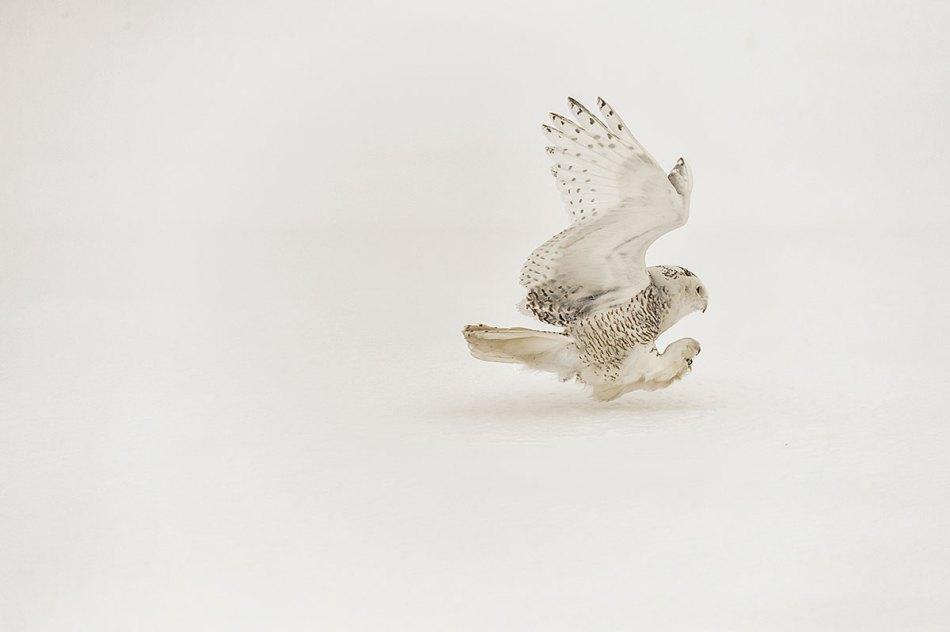 Snowy Owl Bubo scandiacus Richard King 14-001345.vv