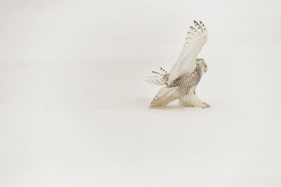 Snowy Owl Bubo scandiacus Richard King 14-001346.vv