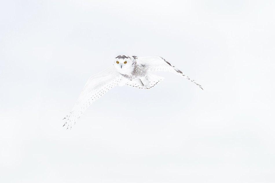 Snowy-Owl-Bubo-scandiacus-Richard-King-14-001451.vv