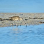 The Whimbrel's Cousin - (Numenicus americanus)