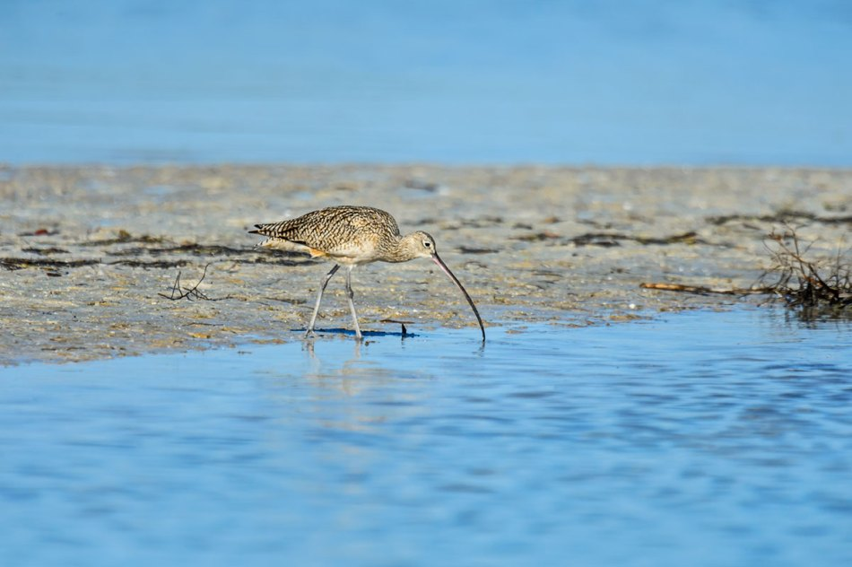 Long-billed-Curlew-Numenius-americanus-RKing-14-003407.vv