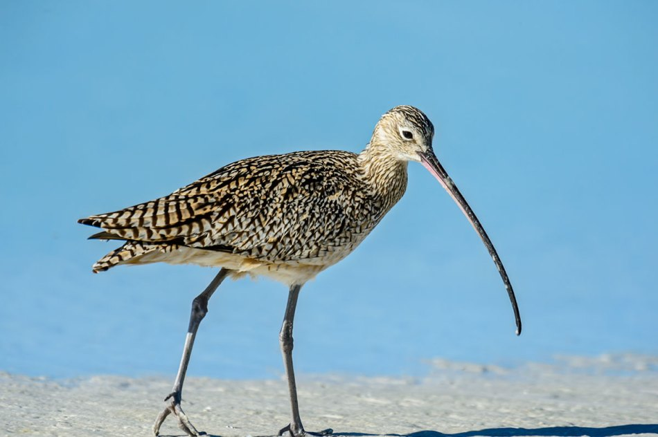 Long-billed-Curlew-Numenius-americanus-RKing-14-003547.vv