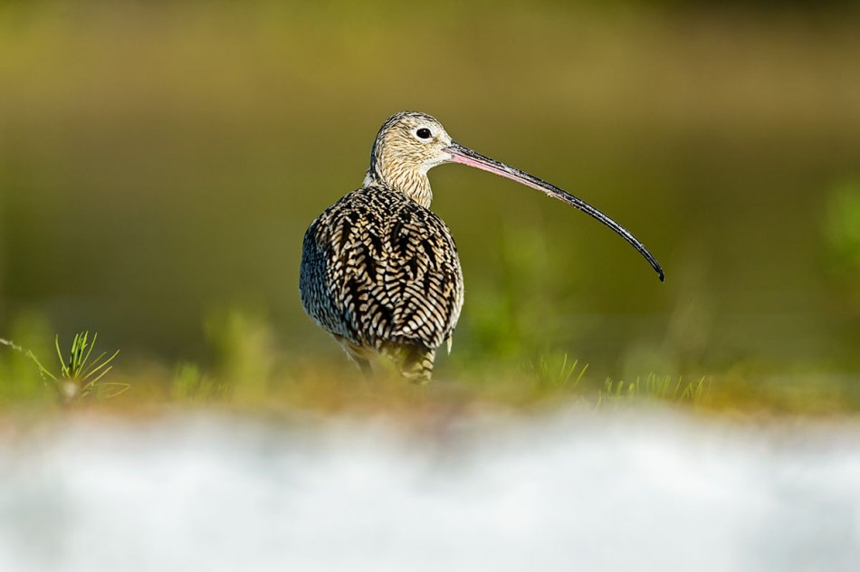 Long-billed-Curlew-Numenius-americanus-RKing-14-003806.vv
