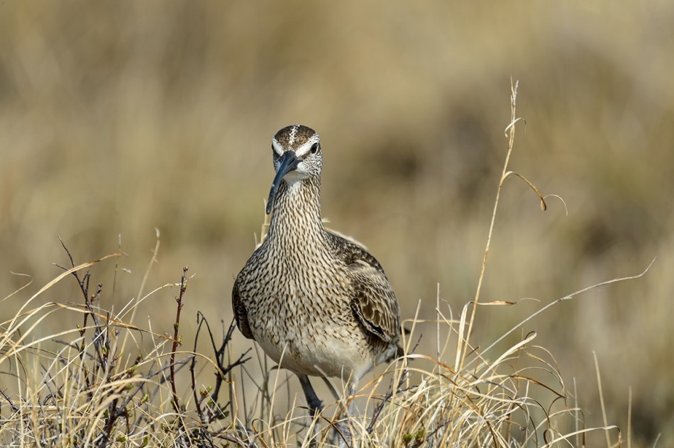 Photograph of a Whimbrel in the Tundra Marsh at Churchill, Manitoba, Canada