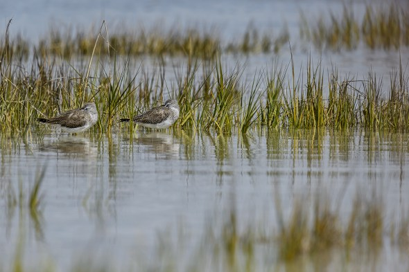 Greater Yellowlegs (Tringa malanoleuca) Sleeping at Fort De Soto County Park beach
