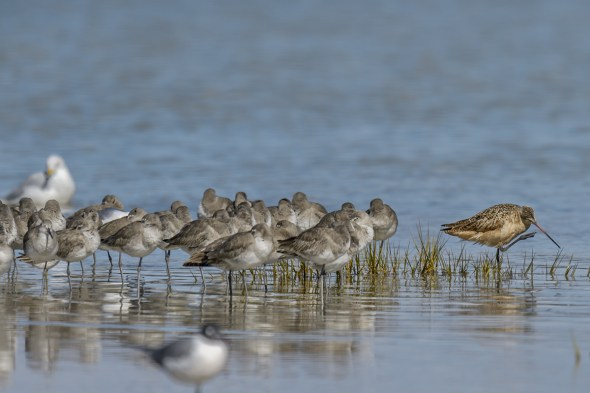 Marbled Godwit (Limosa fedoa) with Willets  (Tringa semipalmata) at Fort De Soto County park beach, Florida