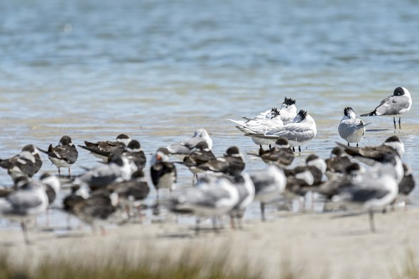 A Group of Royal Terns (Thalasseus maximus) sleeping at Fort De Soto County Park beach