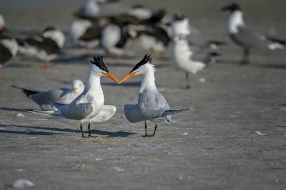Two Royal Terns (Thalasseus maximus) in breeding plumage beginning their courtship.