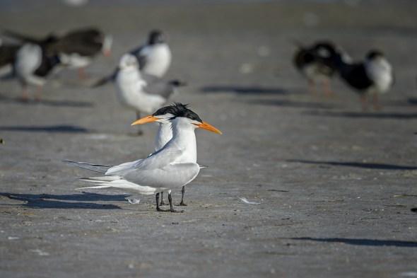 Royal-Tern-(Thalasseus-maximus)-Fort-De-Soto-County-Park-RKing-15-009756-vv