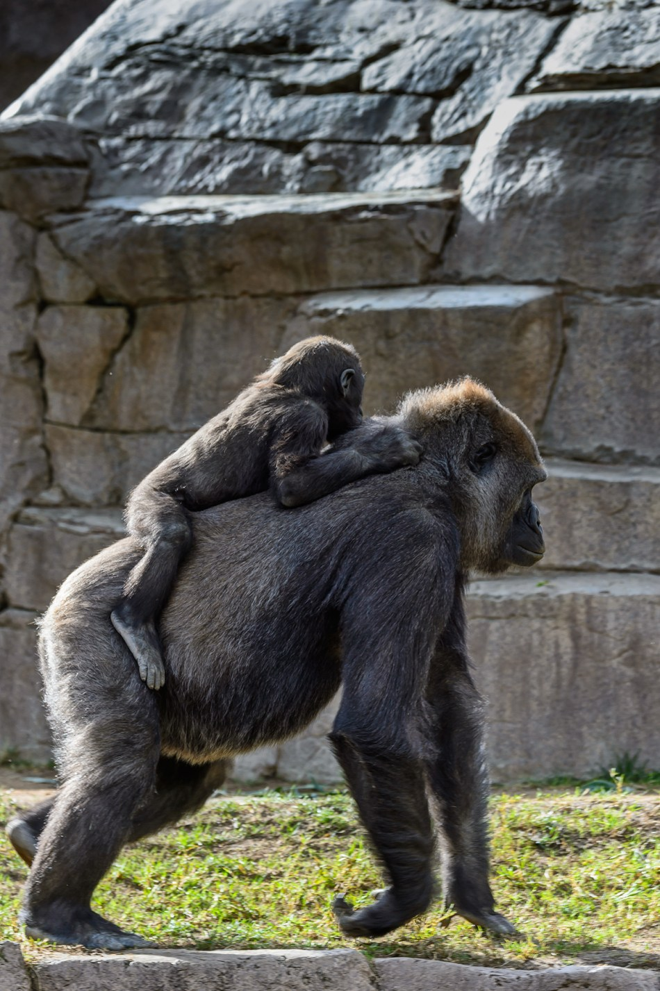 "Silverback ""piggy-backs"" the baby"