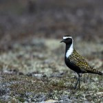 Why Go to Churchill, Manitoba, to Photograph Birds?