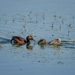 Eared Grebes (Podiceps nigricollis) and their Young