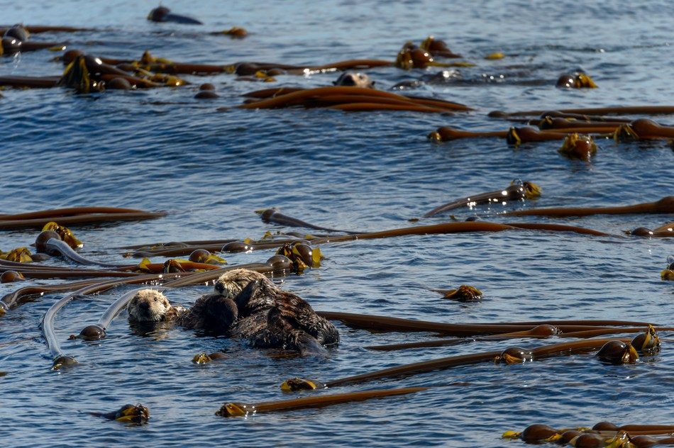 Sea Otters (Enhydra lutris)