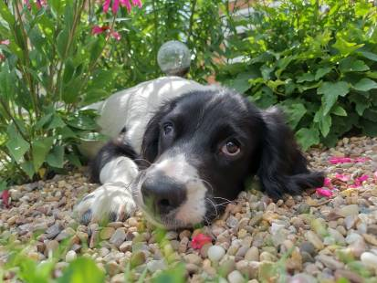 Milo, a springer spaniel puppy, lying down on gravel surrounded by plants