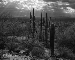 Glowing Arizona Cacti